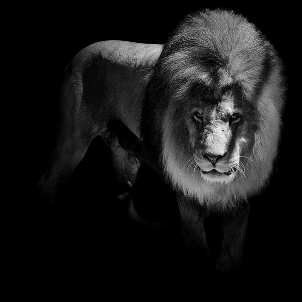 black-white-animal-portraits-14